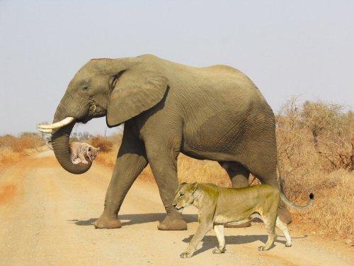 Filin aslan yavrusunu taşıdığı sanılan montaj fotoğraf