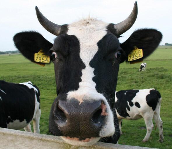 Yüzünde insan silüeti bulunduğu sanılan inek fotoğrafı
