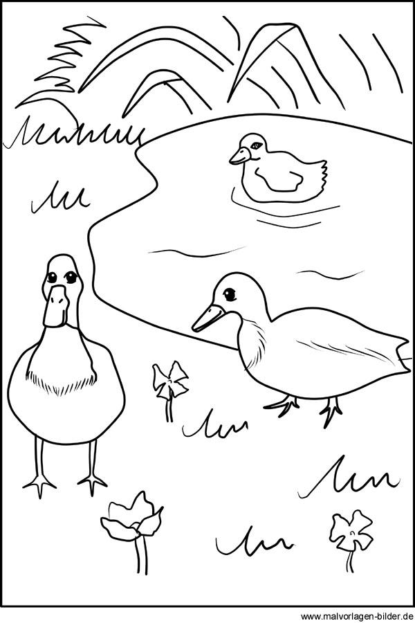 Malvorlage Enten am Teich - Ausmalbilder für Kinder