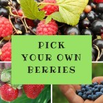 Pick Your Own Berries – Where to Pick Berries near Toronto