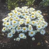 7-shasta-daisy