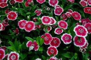 606-20_dianthus_tlstr_bi-color