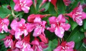 weigela-flower.jpg