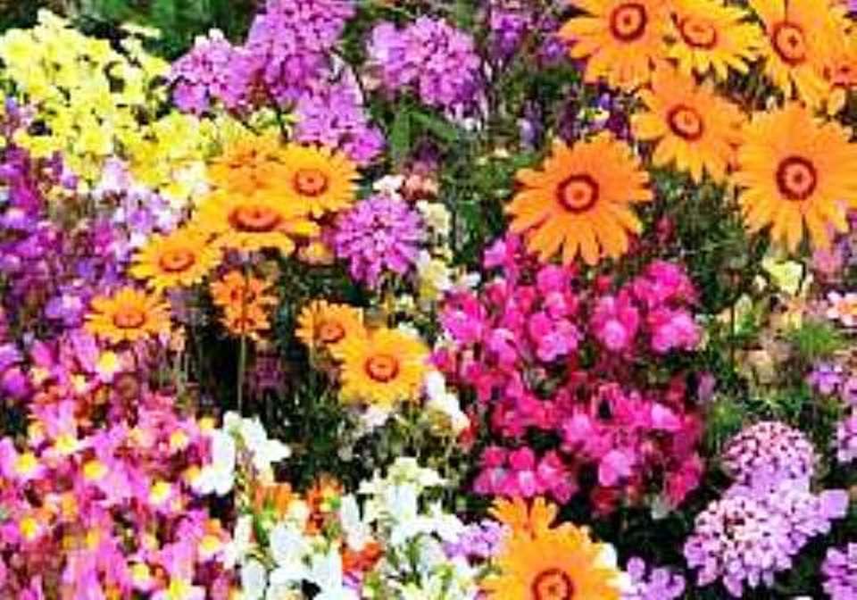 Roses In Garden: Top 10 Annuals For Your Garden