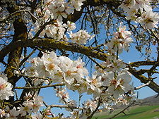 Almond tree in blossom on Tu Bishvat.