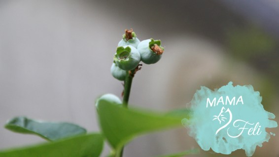 Immergrüne Heidelbeeren