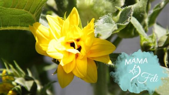 Sonnenblume 2 auch