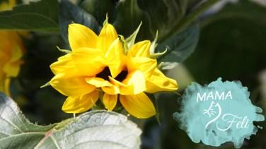 Sonnenblume 1 kommt