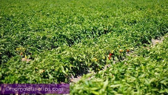 pepper-fields_mamalatinatips
