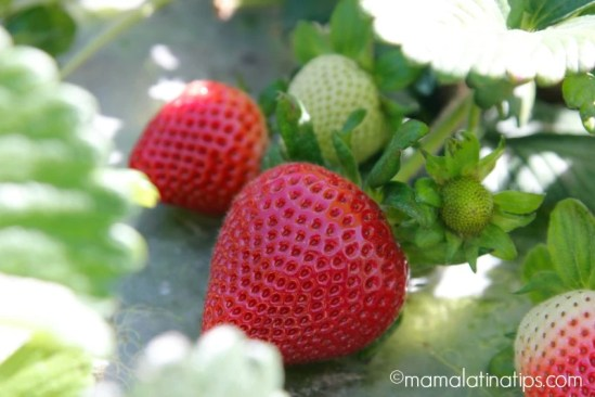 Why strawberries are good for you - mamalatinatips.com