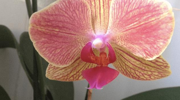 cette orchidée
