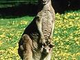 Le portage Kangourou