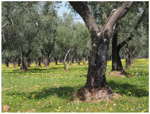 oliviers des Pouilles