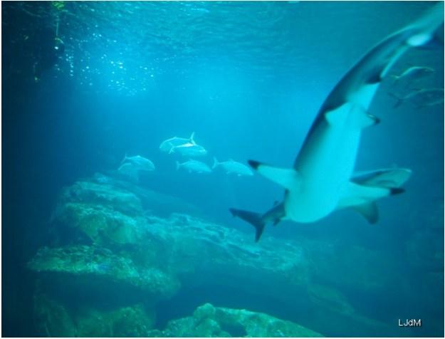 requins