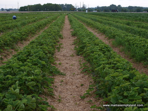 Thies Farm Strawberry Fields June 2014