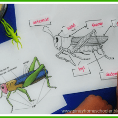 Grasshopper Insect Diagram Rv Batteries Parallel Wiring 25 Kid Friendly Activities And Printables Mama S Happy Hive Roundup