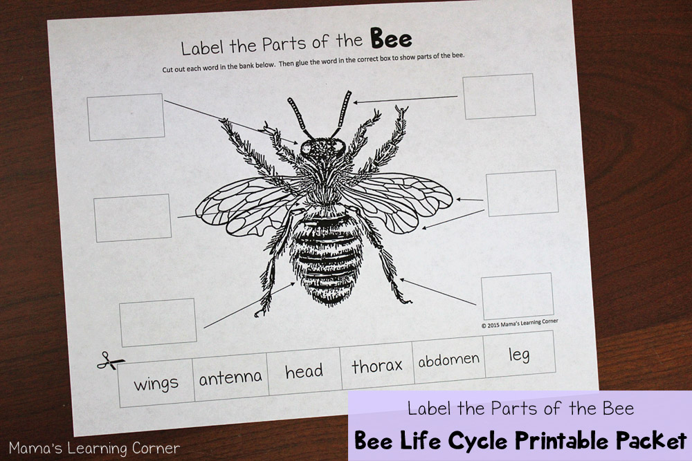 Bee Life Cycle: Label the Parts of the Bee