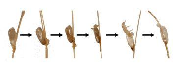 neten hoofdluis in verschillende stadia
