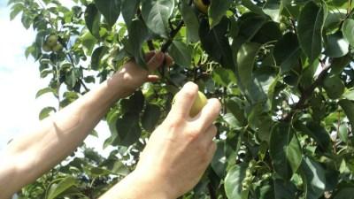 Manzanas verdes y los tiempos modernos