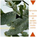 Aprovecha las propiedades del eucalipto con estas recetas caseras