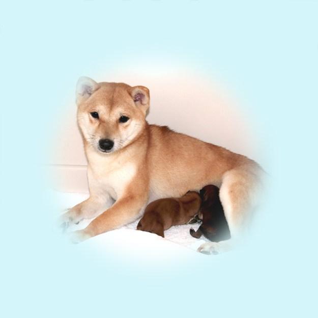 極小豆柴母犬 まつせんちゃん