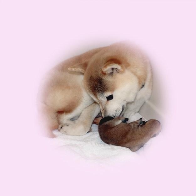 極小豆柴母犬 エルサちゃん