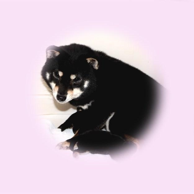 極小豆柴母犬 かなむちゃん