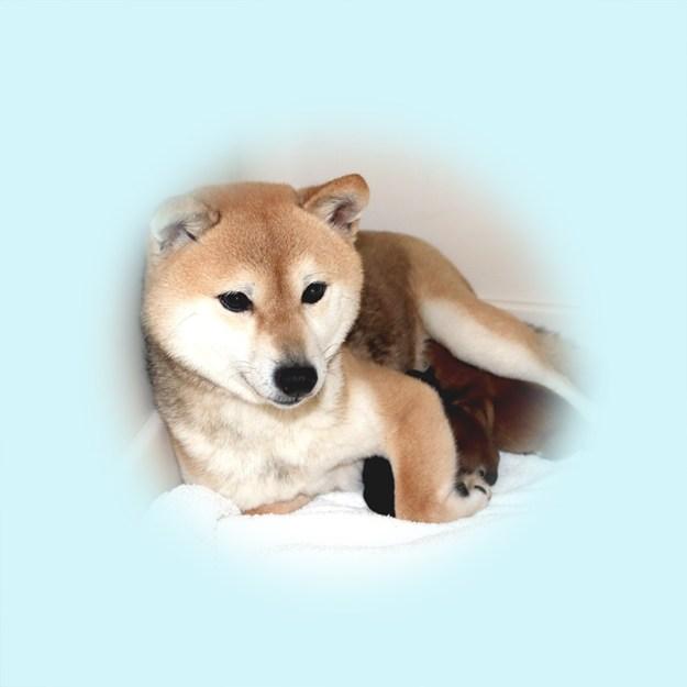 極小豆柴母犬 ノドカちゃん