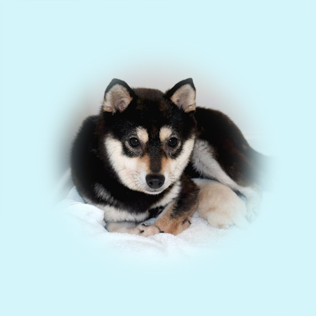極小豆柴母犬 ビオラちゃん