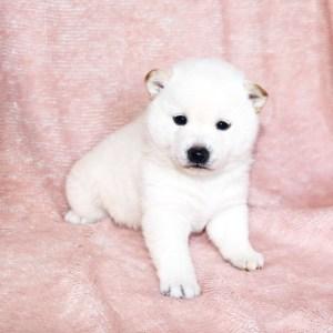 極小豆柴母犬 ホマレちゃんの子b