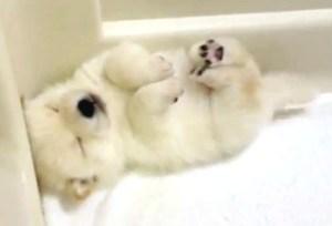 眠眠 豆柴子犬
