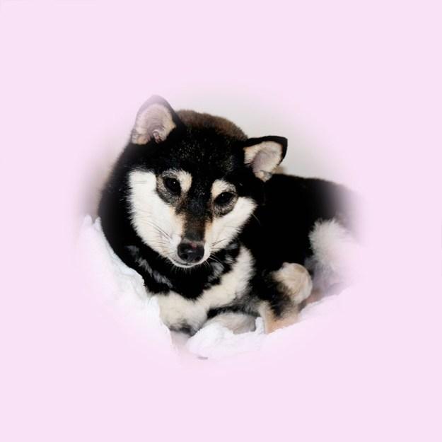 極小豆柴母犬 ホマレちゃん