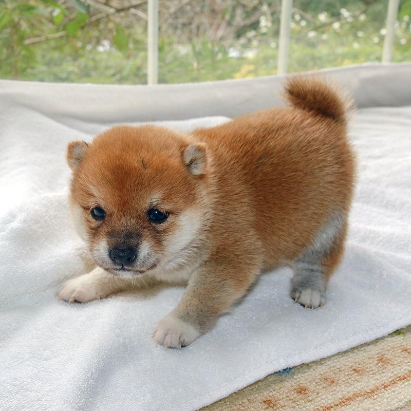極小豆柴母犬 チヒロちゃんの子b