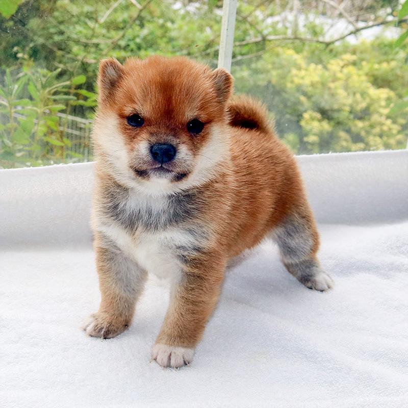 極小豆柴母犬 チヒロちゃんの子c