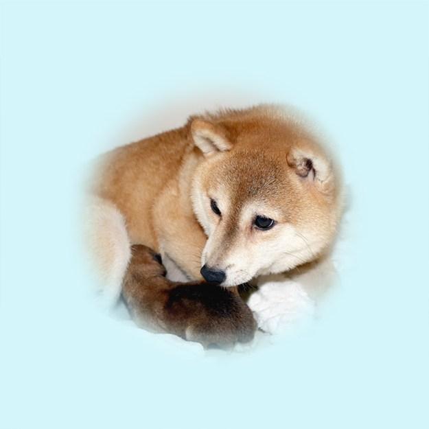 極小豆柴母犬 ジュリちゃん