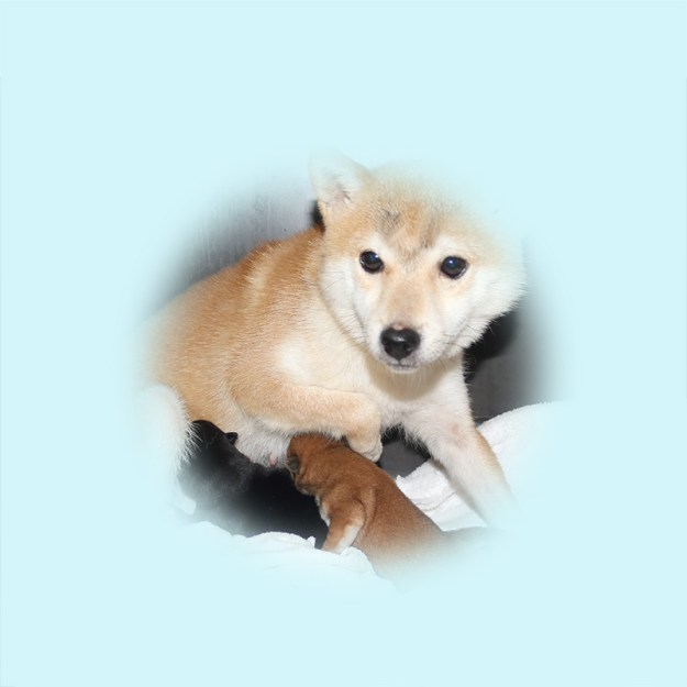 極小豆柴母犬 パセリちゃん