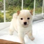 極小豆柴母犬 ミコちゃんの子b