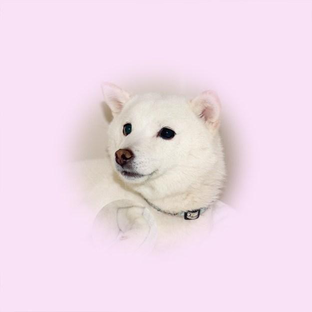 極小豆柴母犬 ミカちゃん
