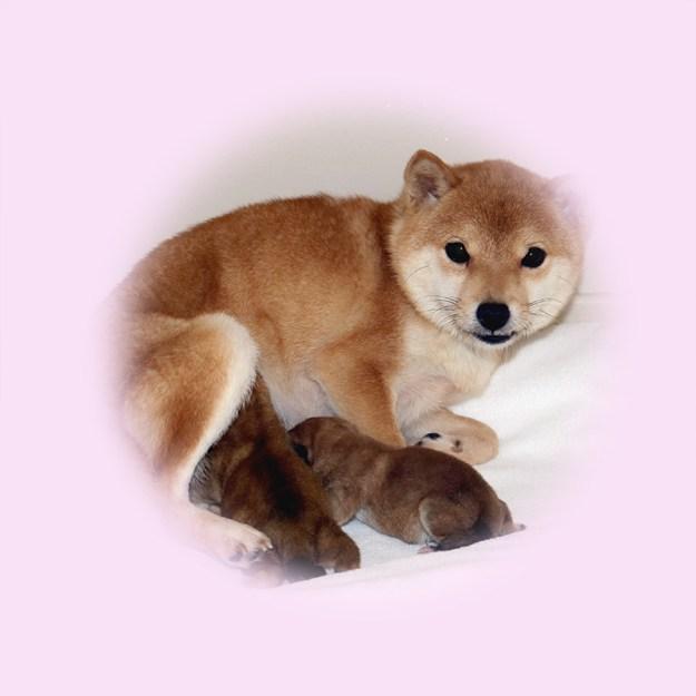 小豆柴母犬 エナちゃん