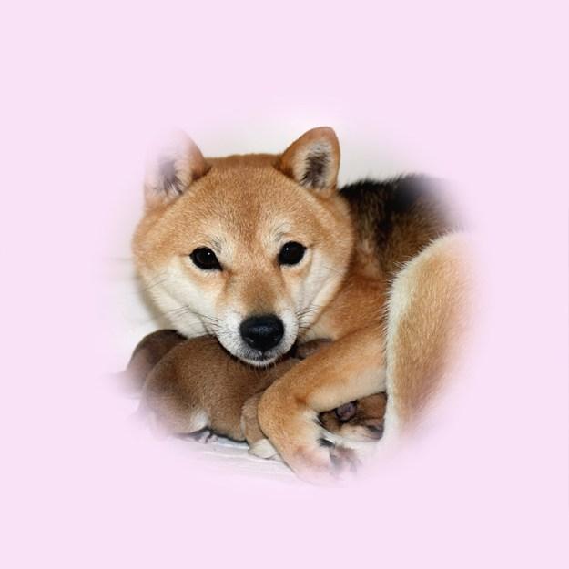 極小豆柴母犬 コエダちゃん