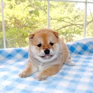極小豆柴母犬 マホロちゃんの子b