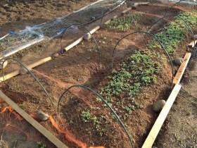 大豆が双葉になったが定植作業にはまだ早い