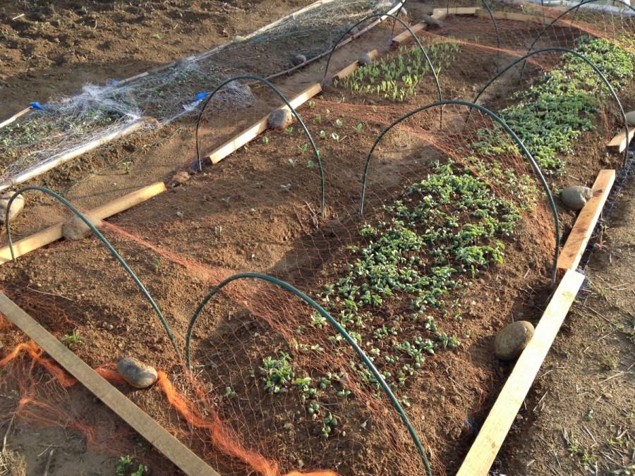 大豆の苗床の様子