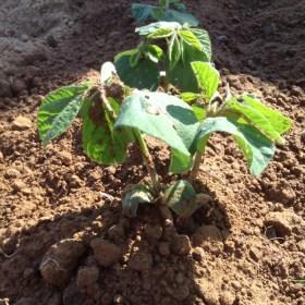 家に庭もないし、畑を借りる金もありませんが大豆を作れますでしょうか?