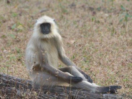 Gray langur, Bandhavgarh