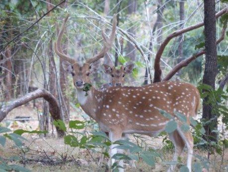 Spotted deer, Bandhavgarh