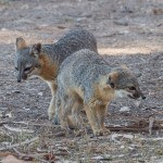 island_fox-4