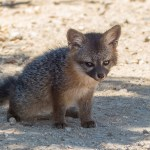island_fox-6