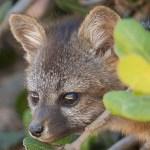 island_fox-8