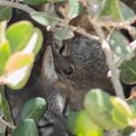 island_fox-9